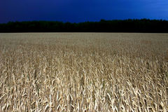 Field of wheat at night. Night above the wheat field royalty free stock image
