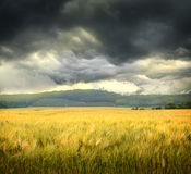 Field of wheat with ominous clouds Stock Images
