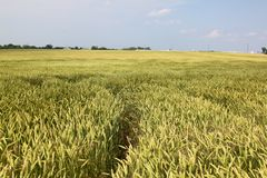 A field of wheat. A path is carved into this vast field of immature wheat Stock Photo