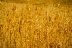 Field of wheat. Photo of field of wheat near Cordillera Negra, mountain range in Peru, South America Royalty Free Stock Images