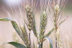 Field of wheat. Plant, nature, rye. Crop on farm. Stem and ears with seed for cereal bread. Agriculture harvest growth royalty free stock photo