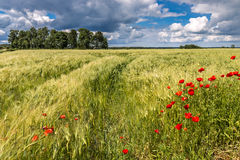 Field of wheat with poppies, Europe Royalty Free Stock Images