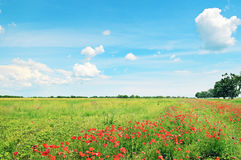 Field of wheat and  poppies Royalty Free Stock Image
