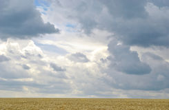 The field of wheat before rainfall Royalty Free Stock Image