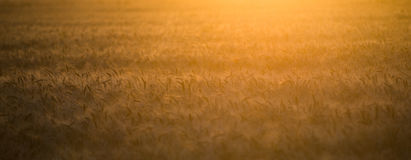 A field of wheat in the rays of the setting sun Stock Photo