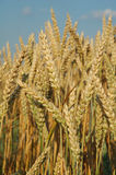 Field with wheat ready for the harvest. Field with wheat gold Royalty Free Stock Photo