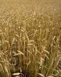 Field of wheat ready for harvest Royalty Free Stock Photography