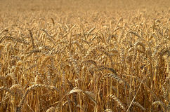 A field of wheat ready to harvest Royalty Free Stock Photos