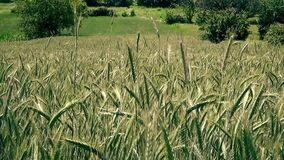 Beautiful wheat field. This is field of wheat recorded in village Ostrelj near of city Bor stock video