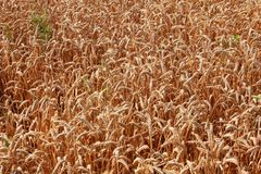 Field of wheat. Rich field of gold wheat royalty free stock images