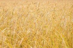 Field of wheat ripe wheat ears Stock Photos