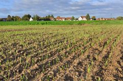 Field of wheat seedlings Royalty Free Stock Images
