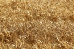 Field of wheat. Selective focus. Field of wheat ready to be harvested. Selective focus Stock Photography