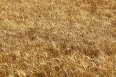Field of wheat. Selective focus. Field of wheat ready to be harvested. Selective focus Royalty Free Stock Photography