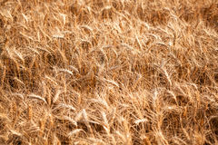 Field of wheat. Selective focus Stock Photo