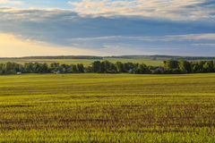 Field with wheat shoots, village and forest. On the horizon, spring evening Royalty Free Stock Photos