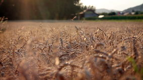 Field of wheat. Shot of the field with mature wheat stock video footage