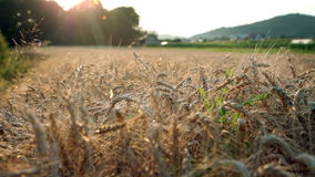 Field of wheat. Shot of field with matured wheat during the sunset stock video footage