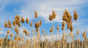 Field of wheat and sky Royalty Free Stock Image