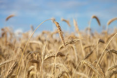 Field of a wheat Royalty Free Stock Images