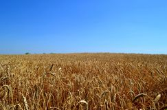 A field of wheat. Field of wheat on sky background. Aksayskiy district, Rostov region. Photo taken on: July 13 Wednesday, 2016 Stock Images