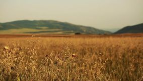 Field of wheat slowly blown by the wind close to camera view with mountains on background stock footage