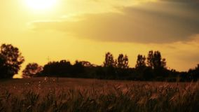 Field of wheat slowly blown by the wind close to camera view out of focus stock video footage
