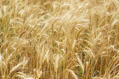 A field of wheat. Some ears. Royalty Free Stock Image