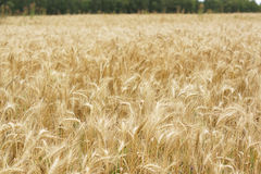 A field of wheat. Some ears. Stock Photos