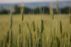 Field! Wheat! Spikelet!. Field of wheat at sunset! Beautiful nature Stock Photography