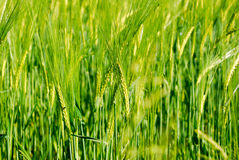 Field of wheat Royalty Free Stock Images