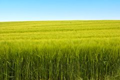 Field of wheat - springtime Stock Images
