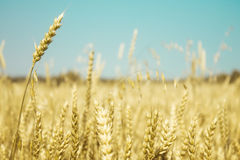 Field of wheat. Summer field of golden wheat and blue sky Royalty Free Stock Image