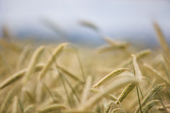 Field of Wheat in Summer Stock Photo