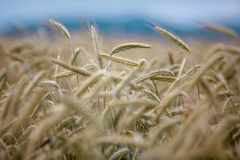 Field of Wheat in Summer Royalty Free Stock Photos