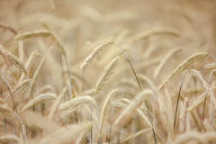 Field of Wheat in Summer Royalty Free Stock Images