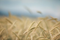 Field of Wheat in Summer Stock Images