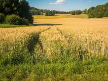 Field with wheat in summer on a sunny day. Stock Photography