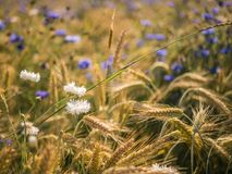 Field with wheat in summer on a sunny day. Royalty Free Stock Photo