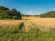 Field with wheat in summer on a sunny day. Stock Images