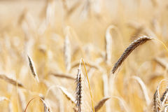 Field of wheat. At summertime Royalty Free Stock Image
