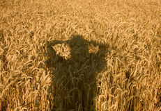 Field of wheat in summertime. Human shade on the field of ripe wheat Royalty Free Stock Image