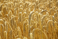 Field of Wheat in the sun Stock Image