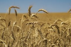 Field of wheat in the sun. Closeup on a wheat in the sun before harvest Royalty Free Stock Image