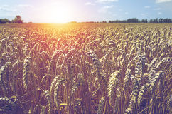 Field of wheat and sun Royalty Free Stock Images