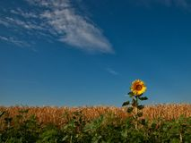Field of wheat, sunflower Stock Photo