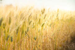 Field of wheat in the sunlight Royalty Free Stock Photos