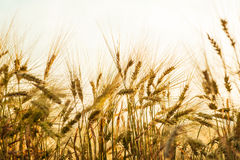 Field of wheat in sunny day. Royalty Free Stock Images