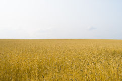 Field of wheat. And sunny sky Stock Photography