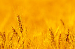 Field of wheat on sunny summer day Stock Image